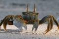 Картинка песок, краб, Crab