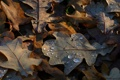 Картинка осень, роса, Листья дуба