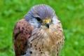Картинка фон, птица, хищник, сокол