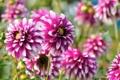 Картинка цветы, яркий, бутон, цветение, flowers, bright, георгин