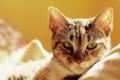 Картинка кошка, кот, постель, котэ, лежа