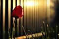 Картинка зелень, трава, солнце, цветы, тюльпан