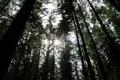 Картинка лес, лучи, деревья, сосна, карпаты