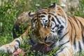 Картинка кошка, лето, трава, клыки, мясо, ест, амурский тигр