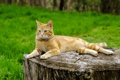 Картинка кошка, пень, лето