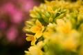 Картинка розовые, желтые, фокус, макро, цветы, каланхое