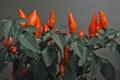 Картинка листья, растение, еда, перец, обощи