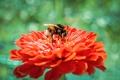 Картинка цветок, пион, puxa, собирает пыльцу, Шмель, макро