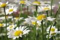 Картинка поле, лето, цветы, ромашки