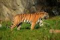 Картинка тигр, хищник, амурский, полосатая кошка