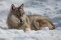 Картинка зима, солнце, свет, снег, отдых, волк, хищник