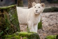 Картинка кошка, мох, ветка, львёнок, белый лев