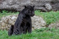 Картинка хищник, пантера, ягуар, дикая кошка, зоопарк
