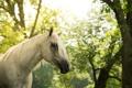 Картинка серый, морда, лошадь, грива, конь