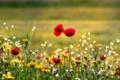 Картинка природа, цветы, лето