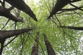 Картинка природа, дерево, липа