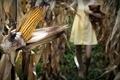 Картинка игрушка, кукуруза, девочка
