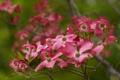 Картинка цветы, природа, фокус, розовые