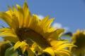 Картинка пчела, лепестки, небо, подсолнух