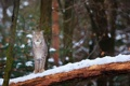 Картинка лес, взгляд, морда, снег, дерево, хищник, рысь