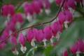 Картинка цветы, капельки, flowers, dew, pink flowers, росинки, droplets