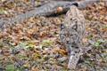 Картинка осень, кошка, листья, животное, рысь, смотрит, идет