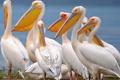 Картинка птицы, перья, клюв, пеликан