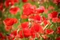 Картинка красные, маки, лепестки, цветы