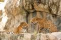 Картинка хищники, ягуары, семейные разборки