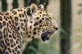 Картинка морда, хищник, пятна, леопард, профиль, дикая кошка