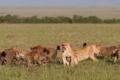 Картинка трава, кошки, стая, драка, оскал, львицы, гиены