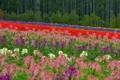 Картинка поле, лес, цветы, Япония, Хоккайдо, луг, Japan