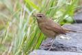 Картинка птица, камни, трава, коричневая