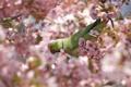 Картинка попугай, ветки, цветение, птица, лепестки, кольчатый, цветы