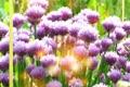Картинка цветок, трава, солнце, лук