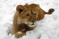 Картинка лев, шерсть, зима, снег, львенок, кошка