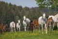 Картинка лето, кони, лошади, загон, табун, (с) OliverSeitz