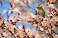 Картинка абрикос, птичка, ветки, Японская белоглазка, цветение, дерево