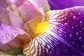 Картинка цветок, нежный, Iris Close-Up