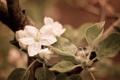 Картинка макро, ветки, листва, цвет, весна, яблоня