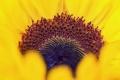 Картинка цветок, макро, подсолнух, зарождение
