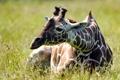 Картинка лето, природа, жирафа