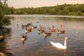 Картинка лес, озеро, утки, лебеди