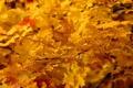 Картинка листья, природа, клён, жёлтые, деревья. осень