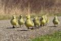 Картинка дорога, птицы, chicken
