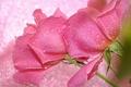 Картинка вода, капли, макро, роза, лепестки, бутон