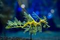 Картинка аквариум, Leafy Sea Dragon, морской дракон