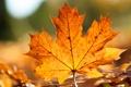 Картинка осень, клён, лист, размытость
