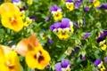 Картинка цветы, весна, анютины глазки