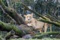 Картинка кошка, дерево, мох, львица, ©Tambako The Jaguar
